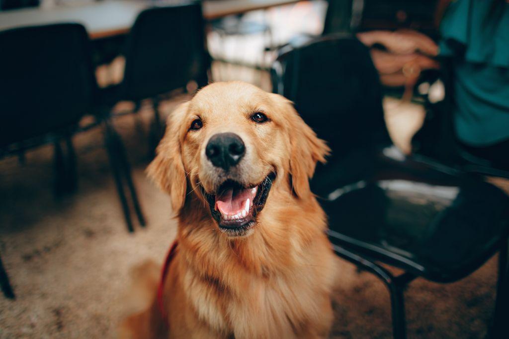 golden chien poils long